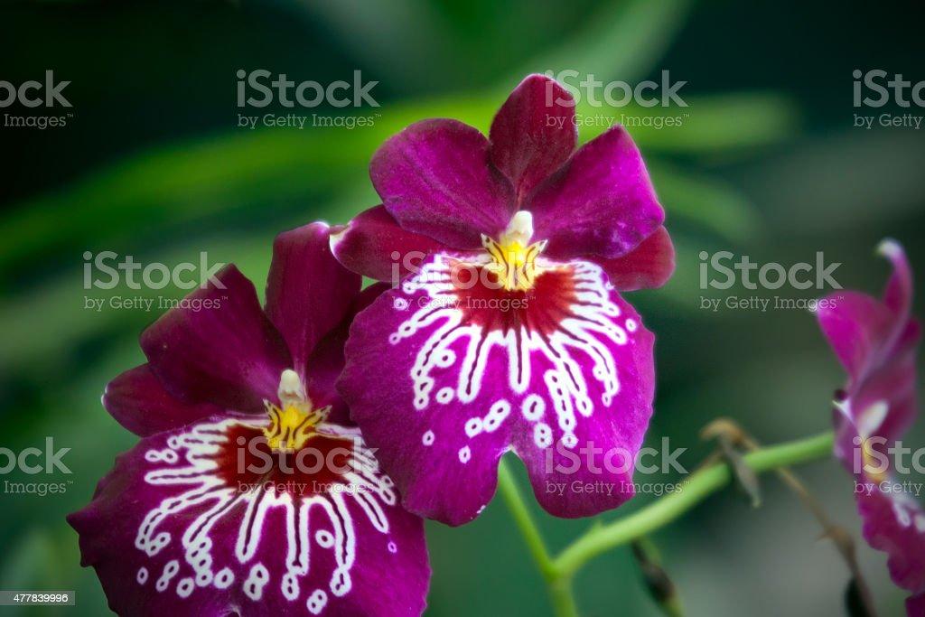 Purple orchid Miltoniopsis, closeup stock photo