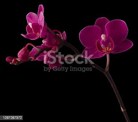 Purple Orchid isolated on black background.