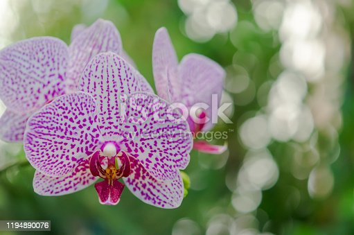 Purple orchid flower on green background.
