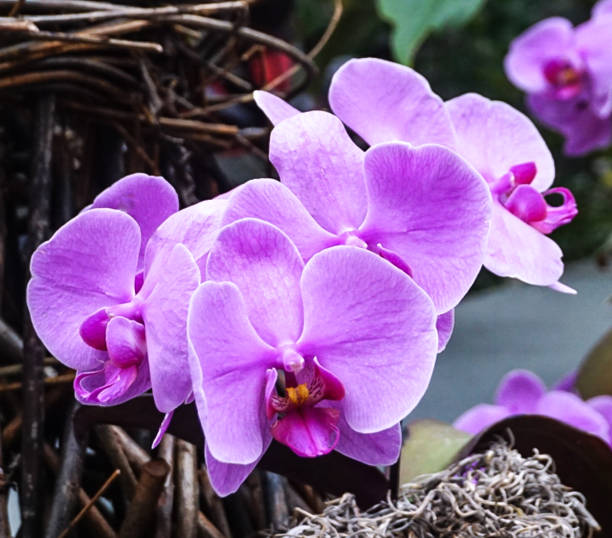 A Purple Orchid stock photo