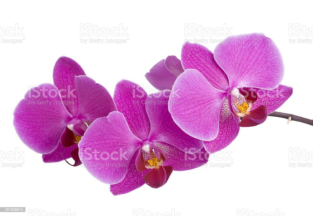 Purple Orchid (Phalaenopsis) stock photo