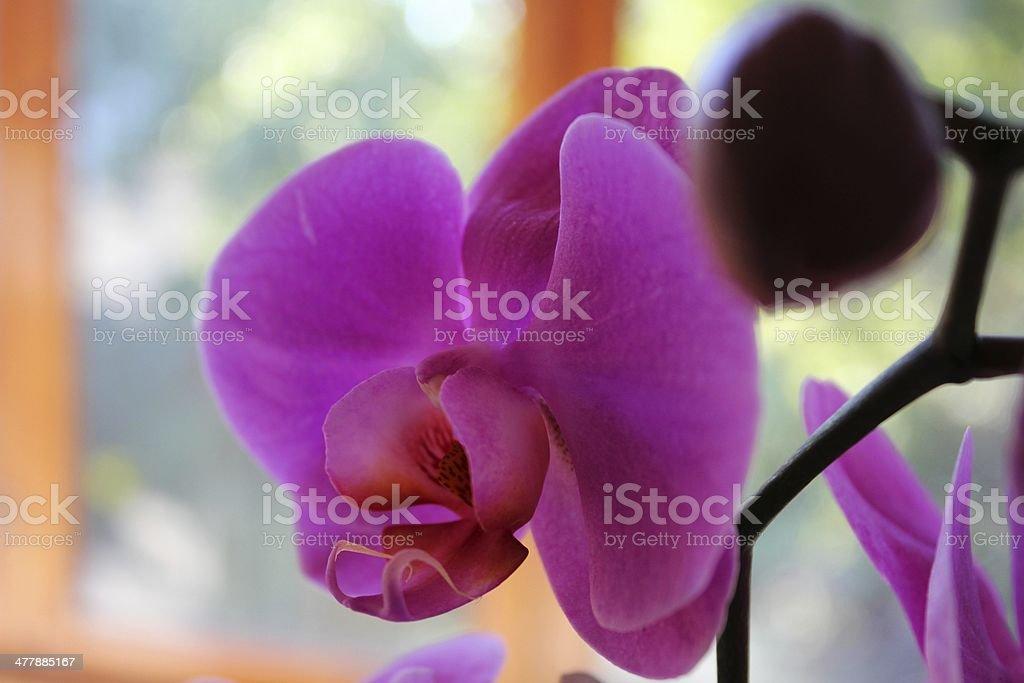 Purple orchid (Phalaenopsis) royalty-free stock photo