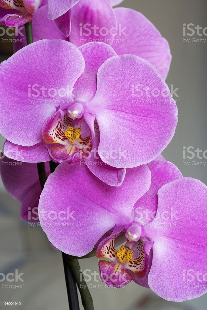 Purple orchid royalty free stockfoto