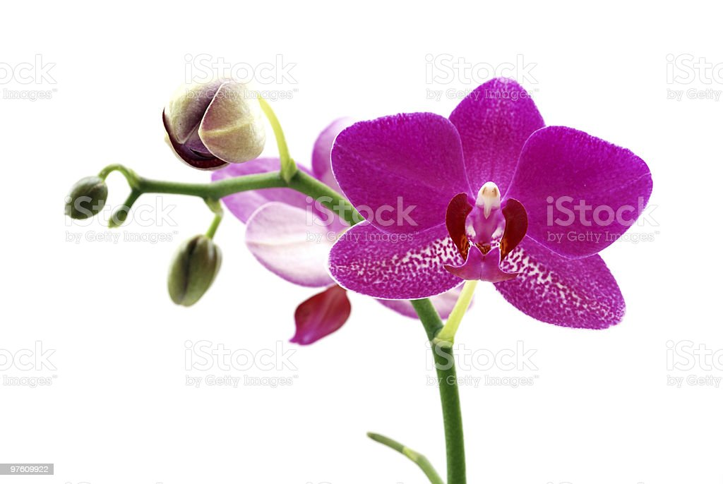 Purple Orchid. White Background. royalty-free stock photo