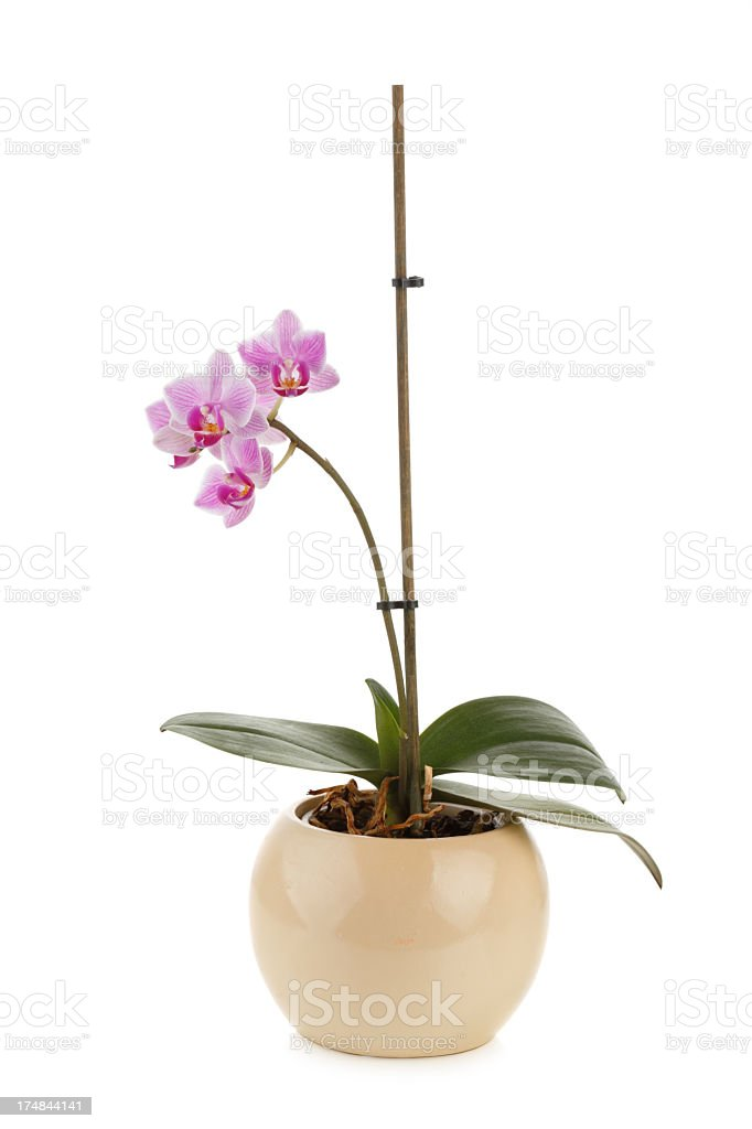 Purple Orchidee in flower pot isolated royalty-free stock photo