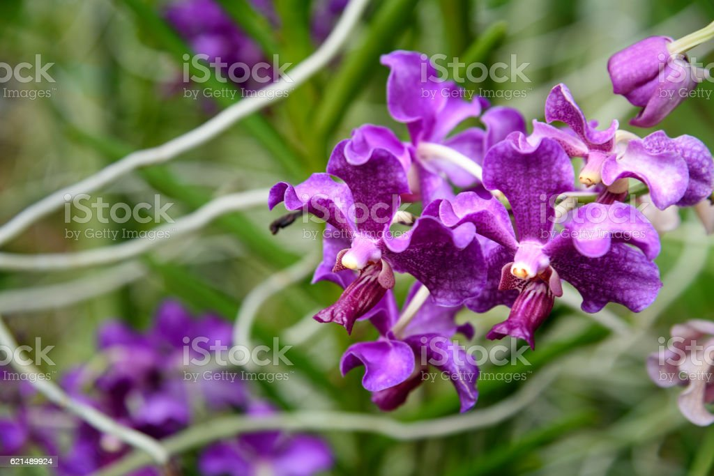 Purple orchids on green foto stock royalty-free