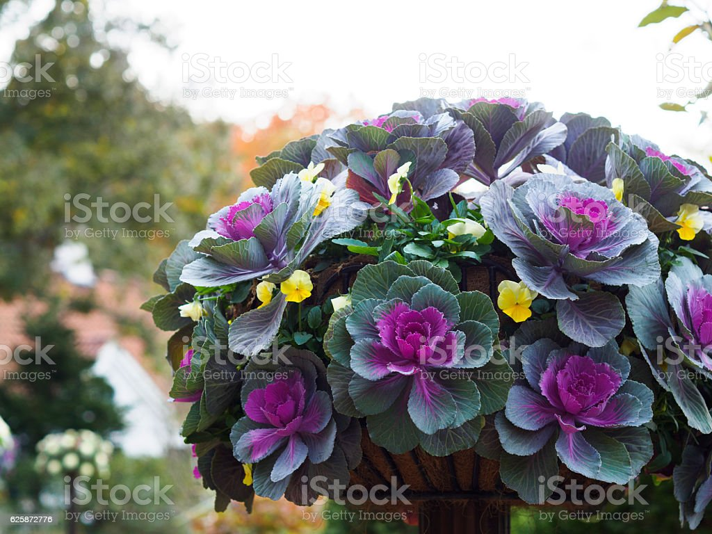 Purple ornamental cabbage and yellow viola ストックフォト
