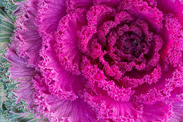 purple ornamental kale close-up - fractal stockfoto's en -beelden