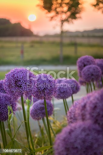 istock Purple ornamental onions (Allium) bathed in the light of a late spring sun. 1064673572