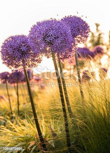 istock Purple ornamental onions (Allium), between the ornamental grass. 1064676994