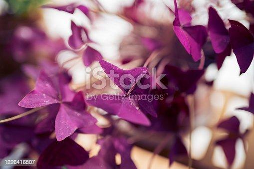 Purple Oxalis triangularis on the flower stand