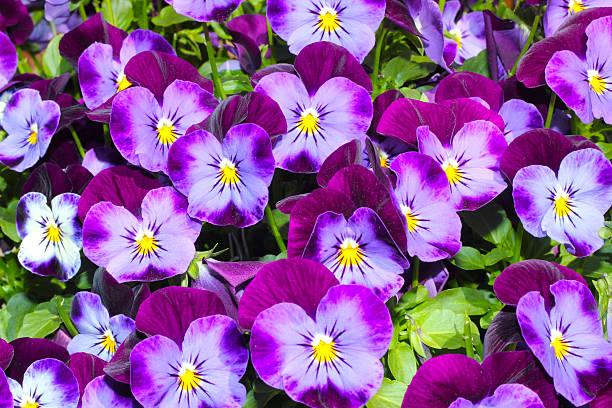 Purple pansies (Viola tricolor) closeup purple pansy plants (Viola tricolor) in the summer sunshine  pansy stock pictures, royalty-free photos & images