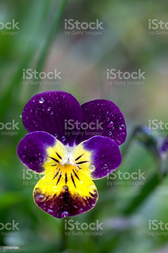 Purple pansy flower royalty-free stock photo