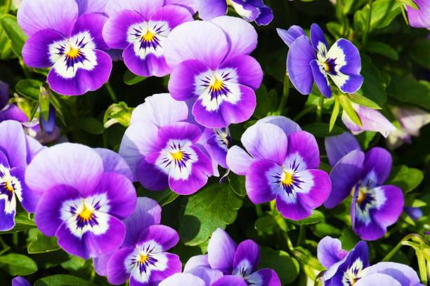 paarse pansy flowerbed - bloemen natuurlijke patroon - ontspannen landschap - fresh start yellow stockfoto's en -beelden
