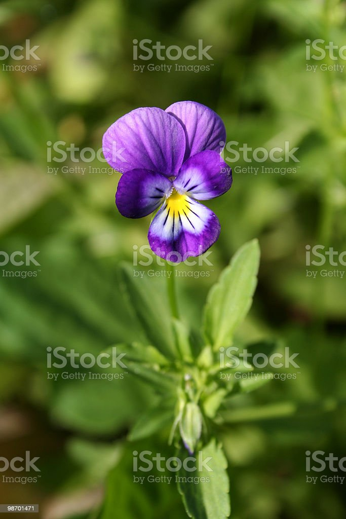 Purple pansy royalty-free stock photo
