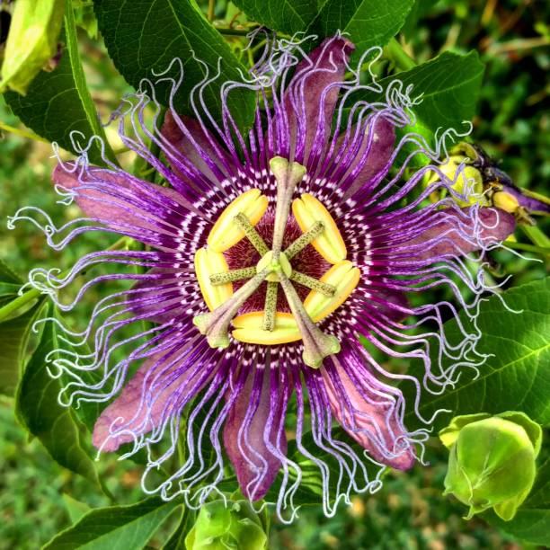 Purple Passiflora, Clear Lake City, Texas stock photo