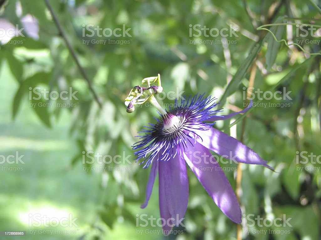 Purple Passion Flower royalty-free stock photo