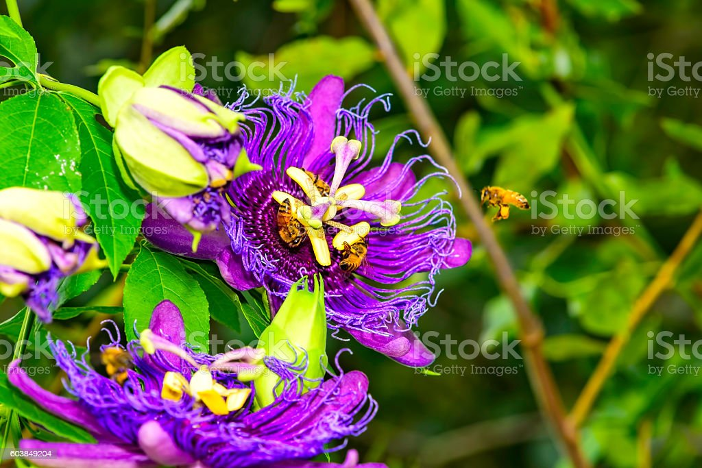 Purple passion flower stock photo