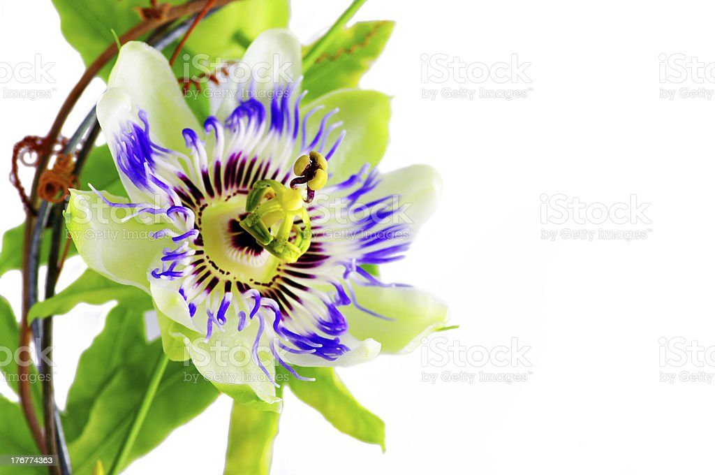 Purple Passionflower on a white background. stock photo