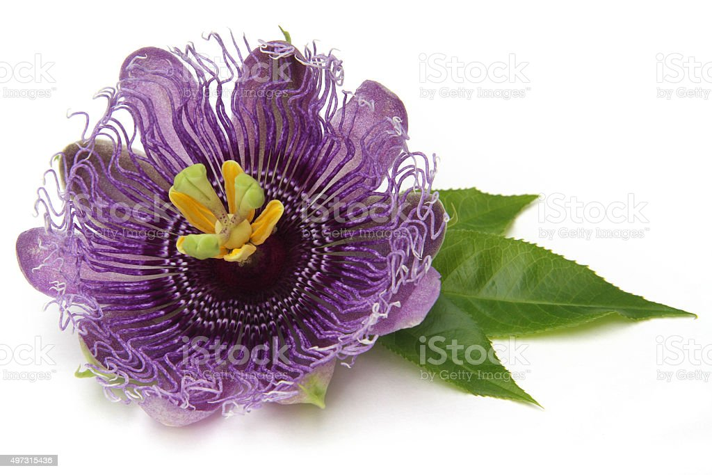 purple passionflower stock photo