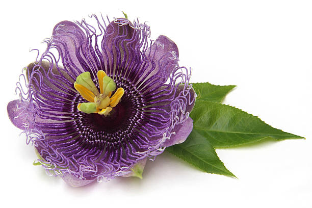 그레디언트된 passionflower - 시계꽃속 뉴스 사진 이미지