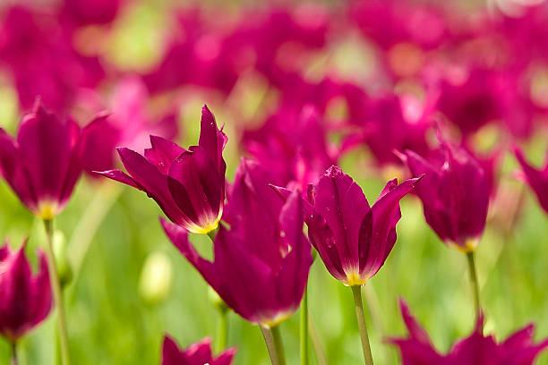 Purple Frieden – Foto