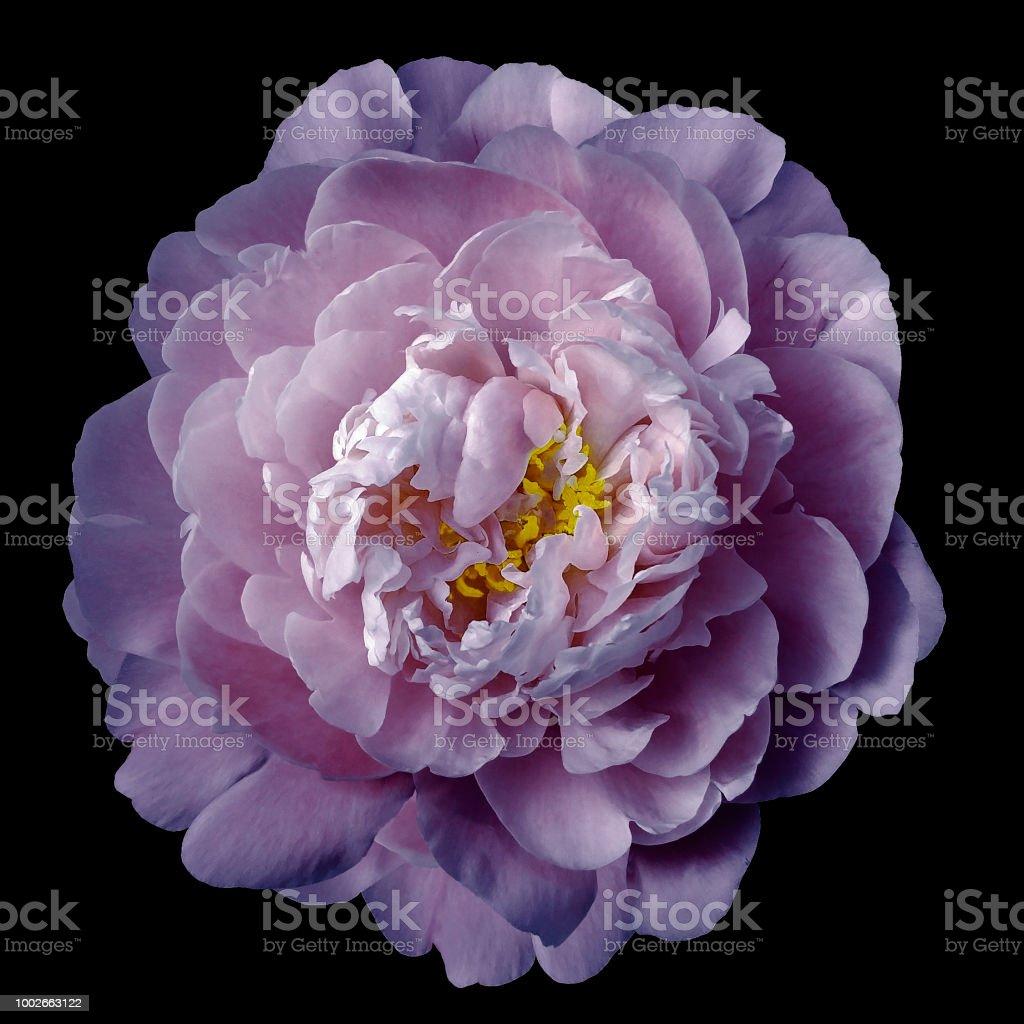 Mediatockphotophotospurple Peony Flower W