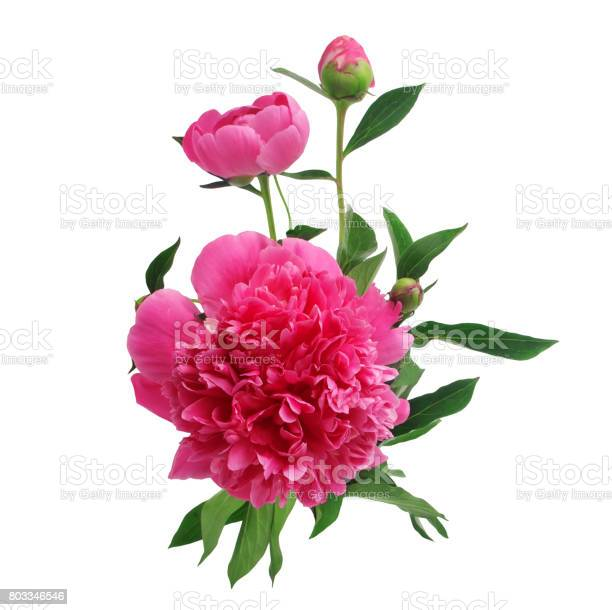 Purple peony flowers isolated on white picture id803346546?b=1&k=6&m=803346546&s=612x612&h=io v5iwqpfj7ynf3qw6rngd1sn yvbk3 v5 fnlgw4a=