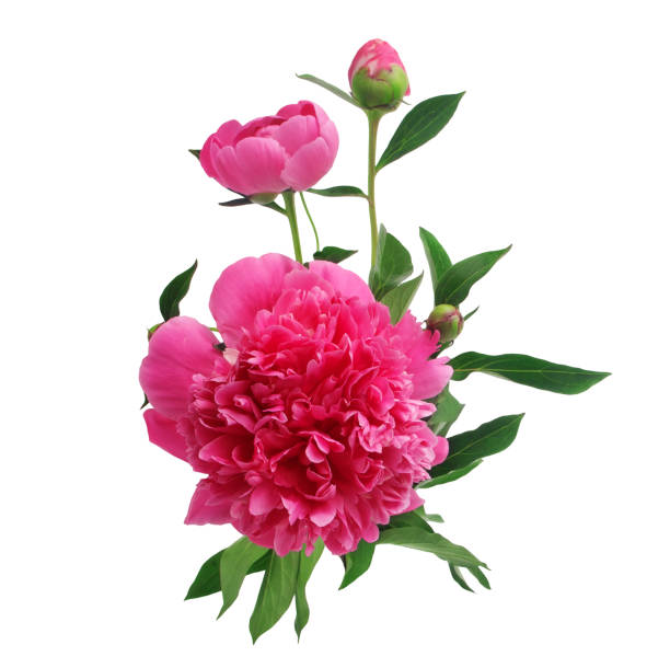 Purple peony flowers isolated on white picture id803346546?b=1&k=6&m=803346546&s=612x612&w=0&h=ctmcdc4yhhn6v05le7s hkcnju6 gwuxvvcfm6t4why=