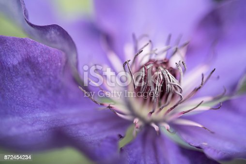 Close up of the centre of a purple spring clematis vine with he focus on the centre stamen.