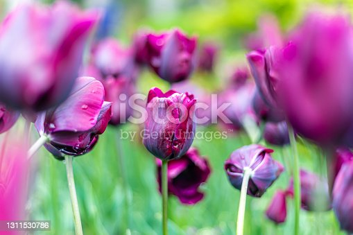 Purple petal tulips.  Spring flowers.  Colorful flowers.  Gardens with tulips