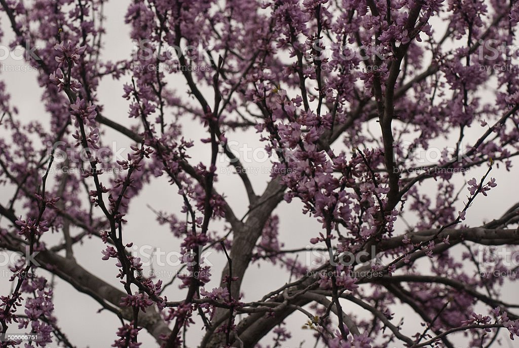Purple Petals stock photo