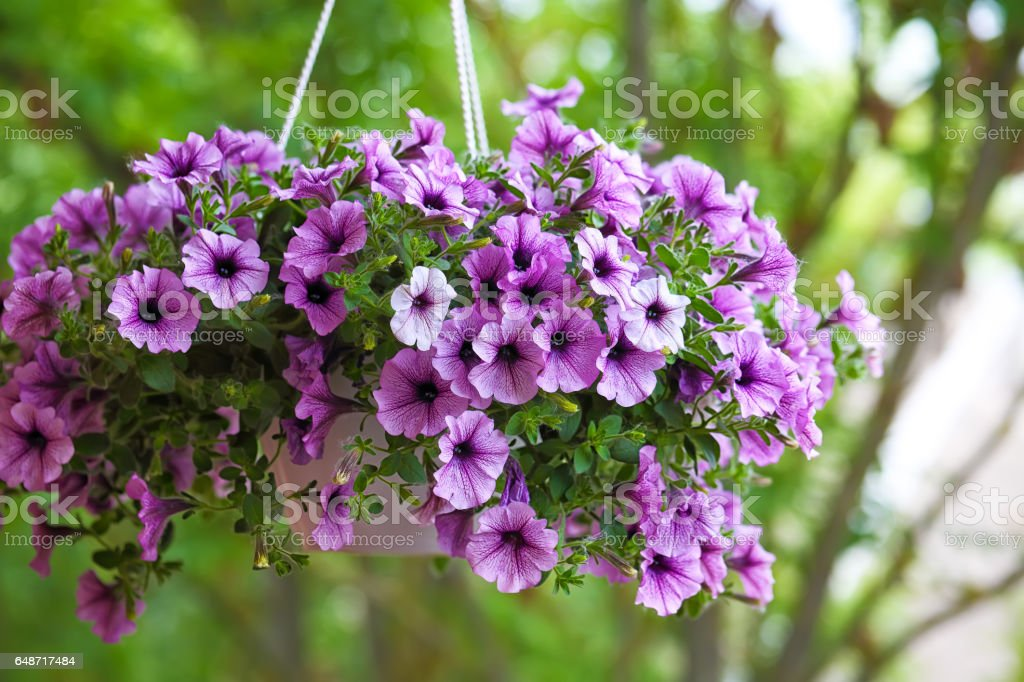 purple petunia flowers in the garden stock photo