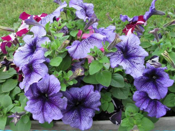 Purple petunia patch stock photo