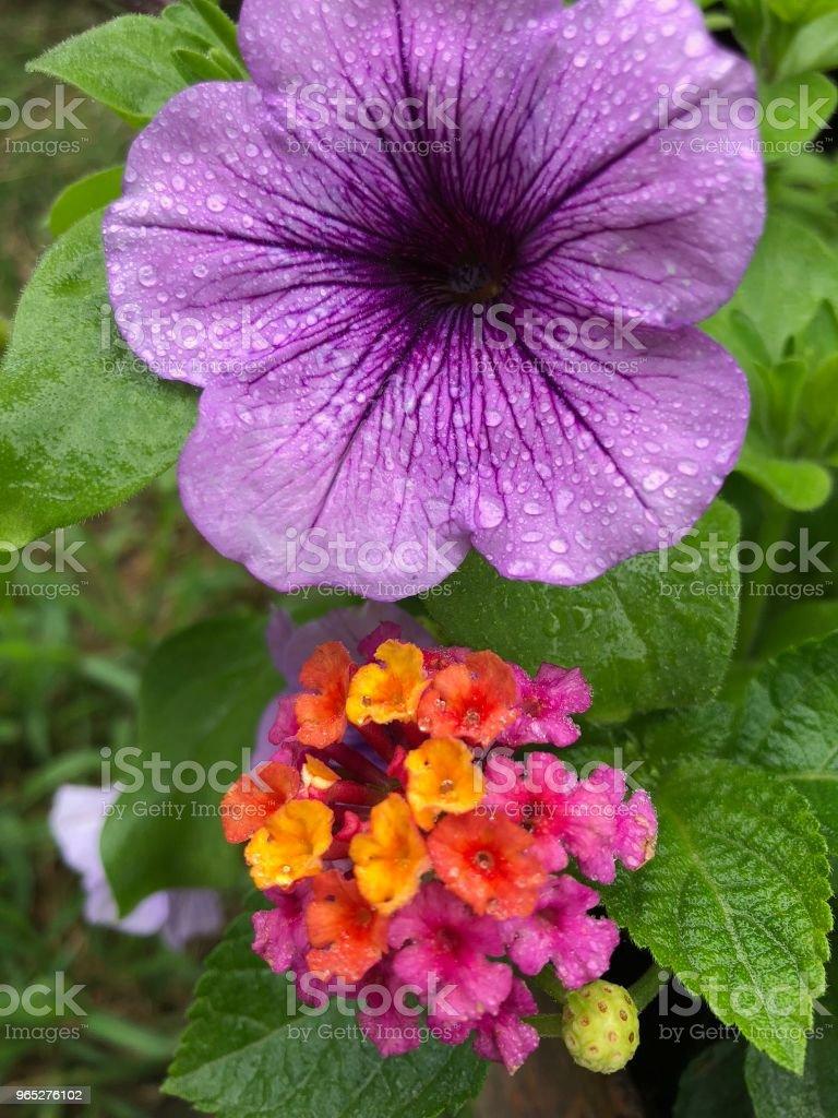 Purple Petunia zbiór zdjęć royalty-free