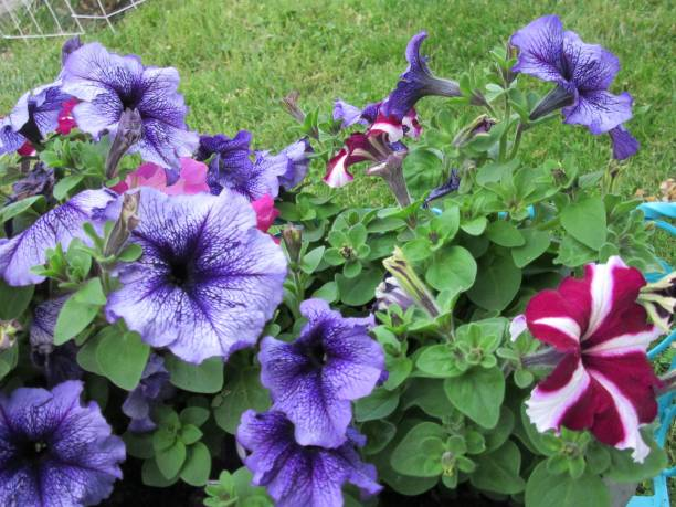 Purple petunias in bloom stock photo