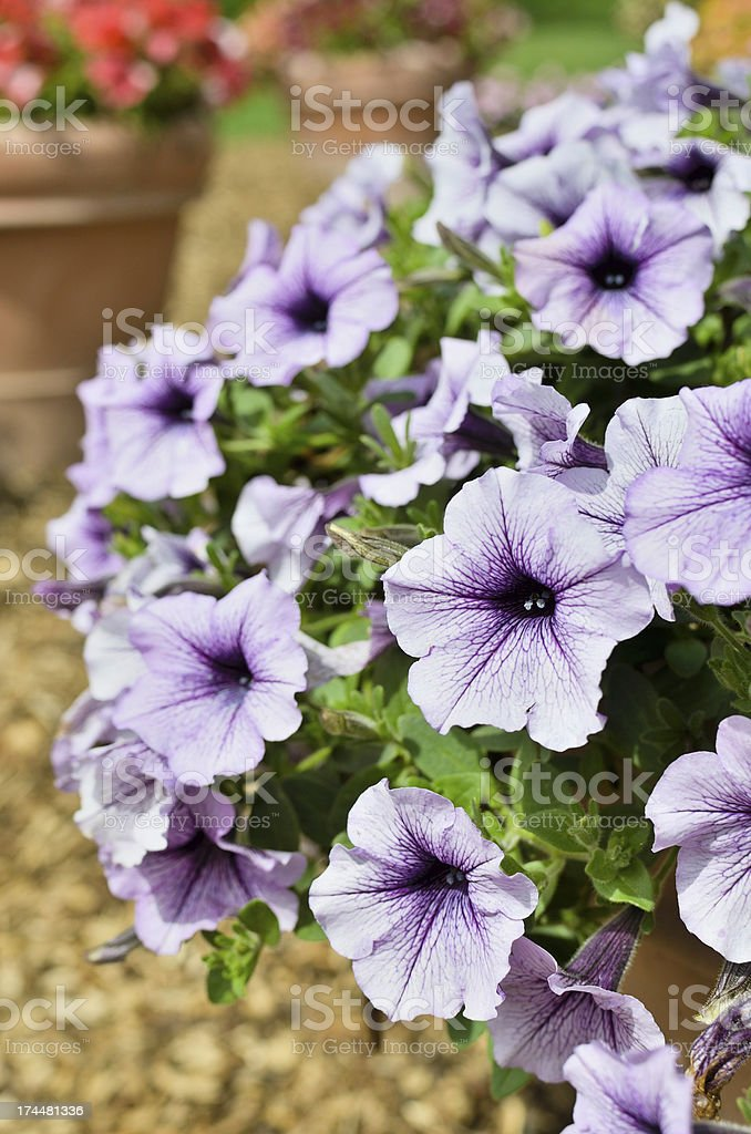 Purple Petunias royalty-free stock photo