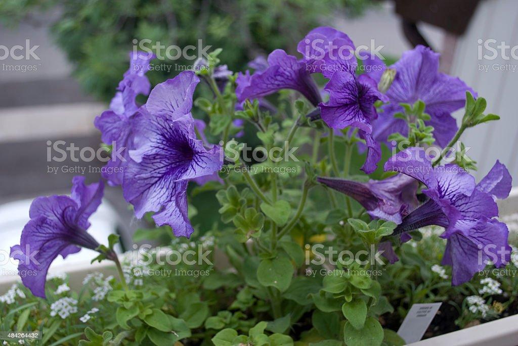 Purple petunias stock photo