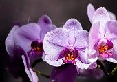 A light purple Moth Orchid. A hybrid Phalaenopsis flower. Romantic home interior details.