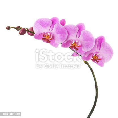 Purple Phalaenopsis orchid flowers isolated on white background. Closeup