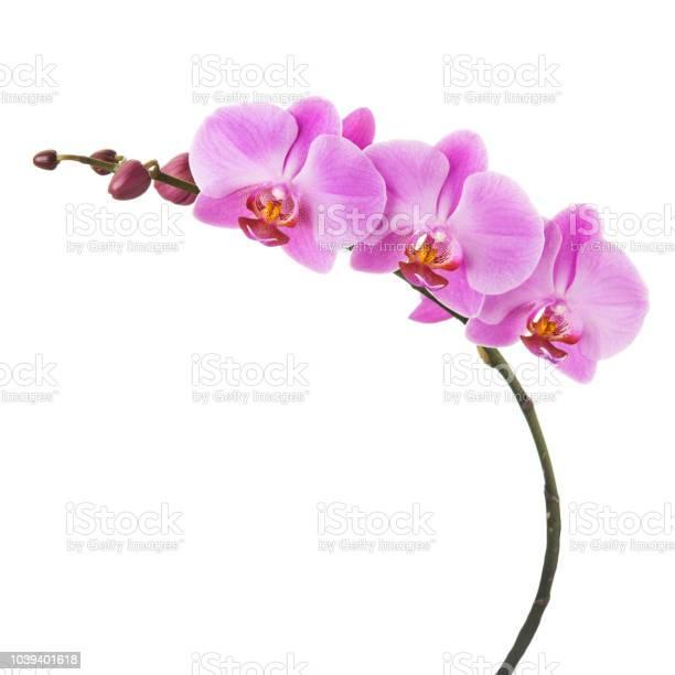 Purple phalaenopsis orchid flowers isolated on white background picture id1039401618?b=1&k=6&m=1039401618&s=612x612&h=fu39mspo29abtm0mjkd7wdk2mxvr2dset22ircu78ui=