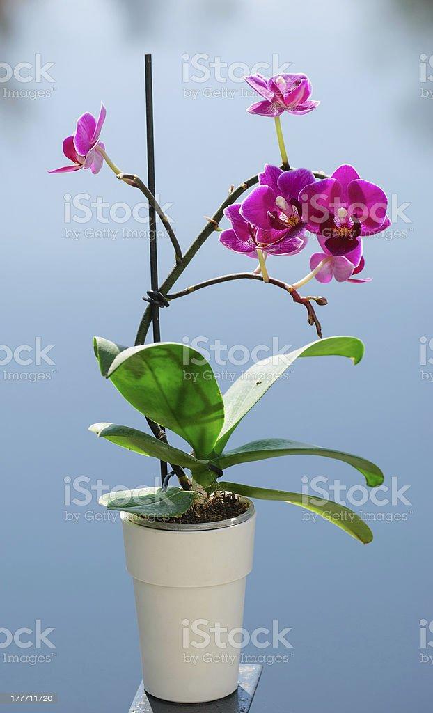 Purple phalaenopsis royalty-free stock photo