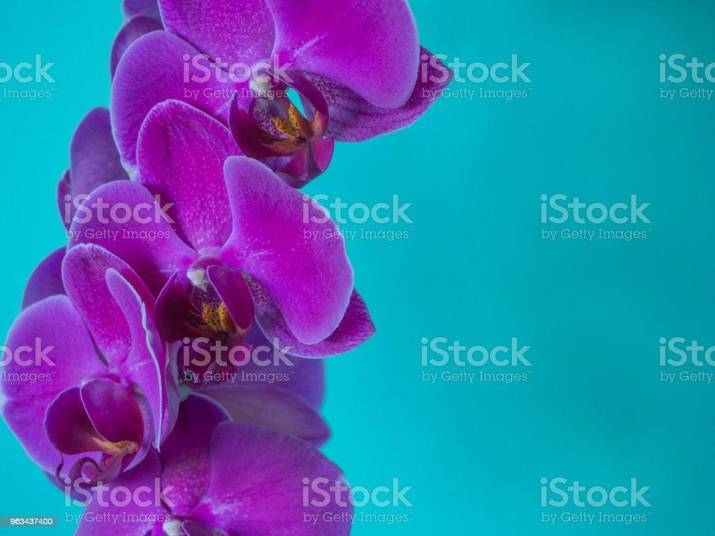 Purple phaleanopsis orchid on blue background - Zbiór zdjęć royalty-free (Bez ludzi)