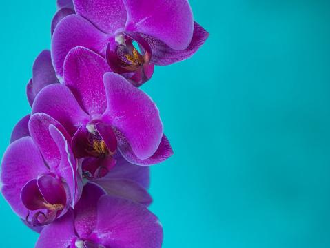 Purple Phaleanopsis Orchid On Blue Background - zdjęcia stockowe i więcej obrazów Bez ludzi