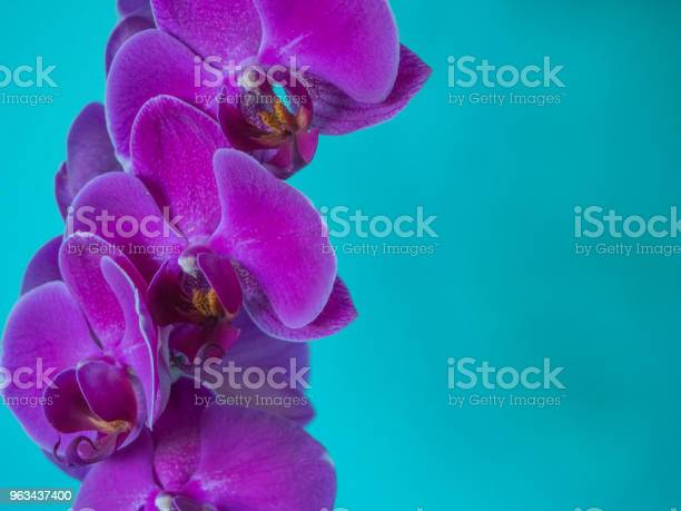 Purpurowa Phaleanopsis Orchidea Na Niebieskim Tle - zdjęcia stockowe i więcej obrazów Bez ludzi