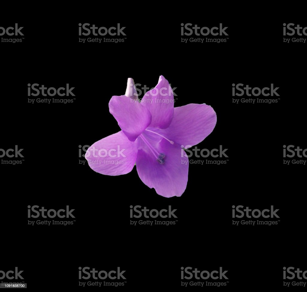 Purple Philippine Violet isolated on a black background stock photo