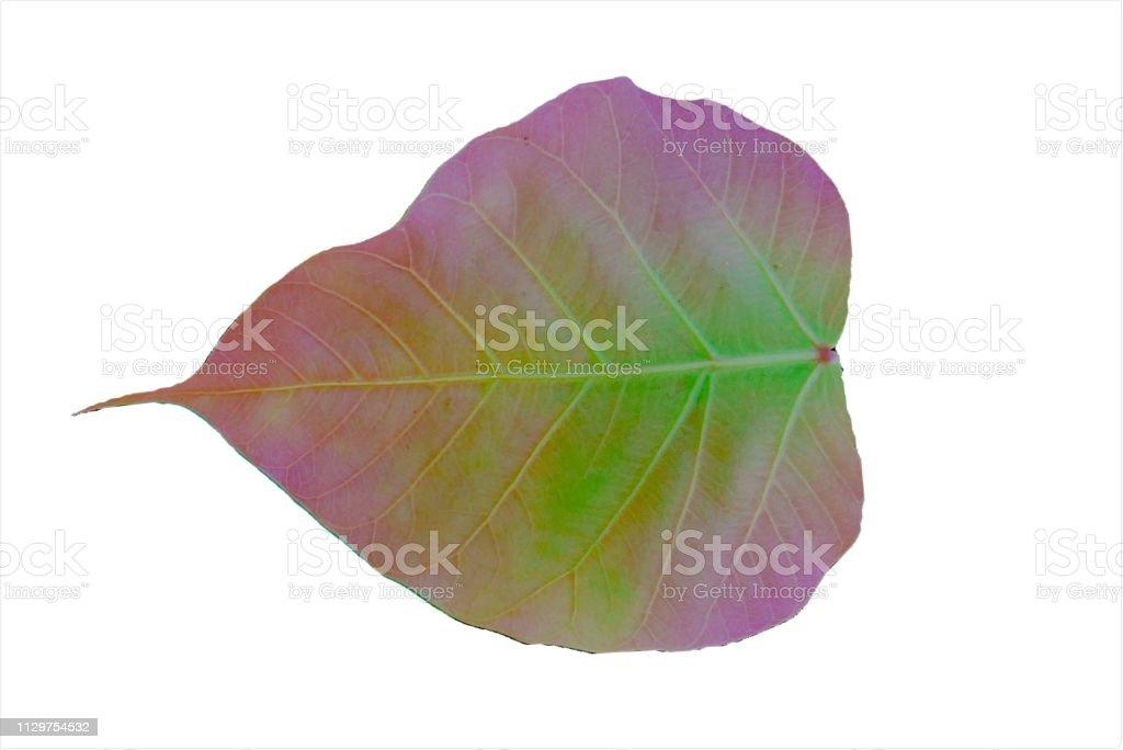 Purple Pho leaves on white stock photo