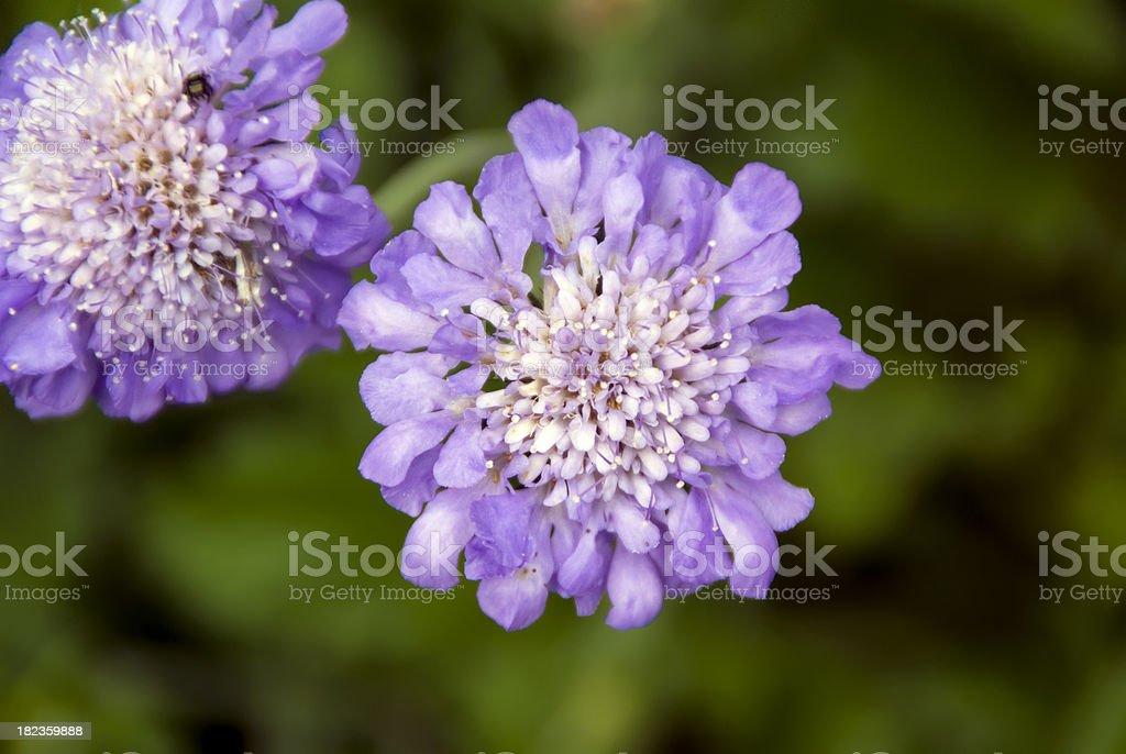 Purple Pincushion Flower - Scabiosa stock photo