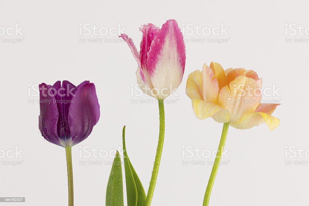 purple pink and peach tulips royalty-free stock photo