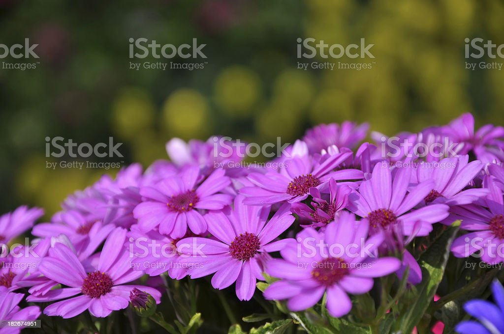 Purple Pink Cineraria / Daisy / Chrysanthemum stock photo